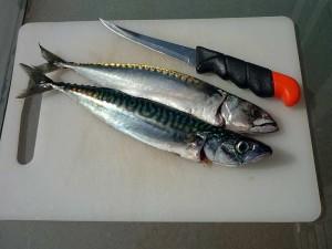 Makrelen filetieren Anleitung wie man richtig Makrelen filetiert