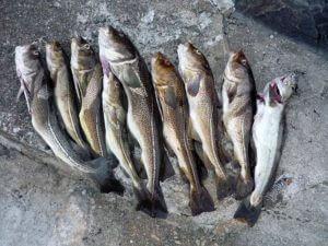 Dorsche angeln mit dem besten Echolot