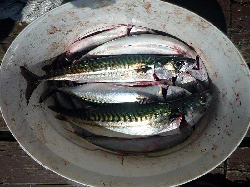 Tolle Makrelen im Schwarm gefangen